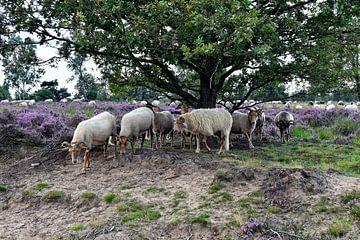 Drenthe Heidekraut Schaf von Jeannette Penris