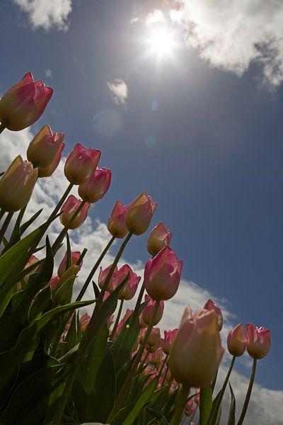 Tulpen in tegenlicht