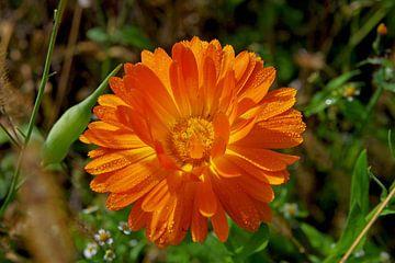 Orange Ringelblume mit Tautropfen von Anja Uhlemeyer-Wrona
