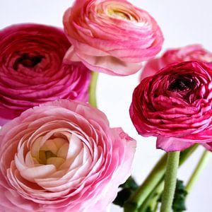 Ranunculus van Claudia Moeckel