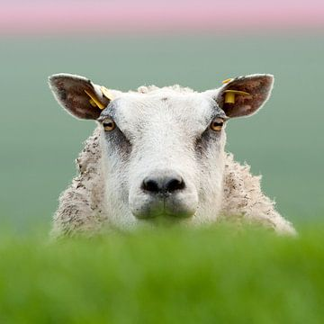 Schafe von Remke Spijkers