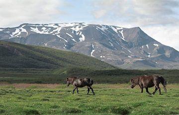 IJslands paard in IJsland van iris hensen