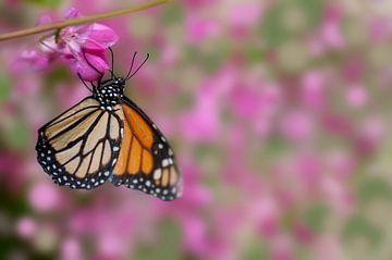 Monarchfalter auf floralem Hintergrund von Fred en Roos van Maurik