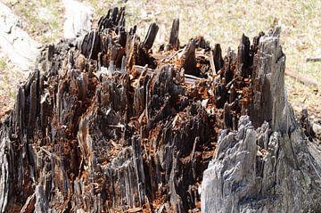 boomstam van Robert Lotman