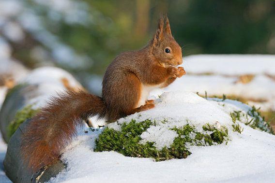 Eekhoorn in de sneeuw van Miranda Bos