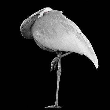 Kraanvogel met donkere achtergrond van Irma Heisterkamp