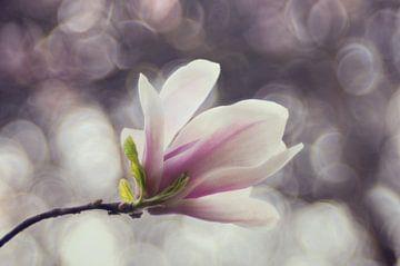 Macro - Magnolia sur Angelique Brunas