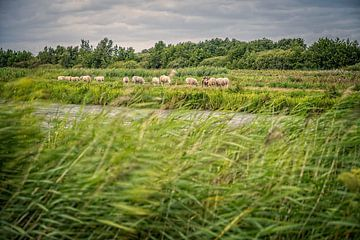 Schafe im Westbroek Zodden