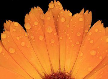 Blütenblätter von MSP Canvas