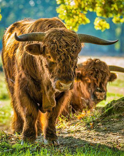 Nieuwsgierige Schotse Hooglander II