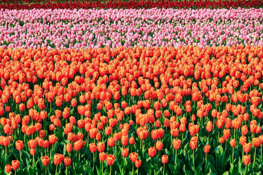 Gekleurde velden met tulpen van Dennis van de Water