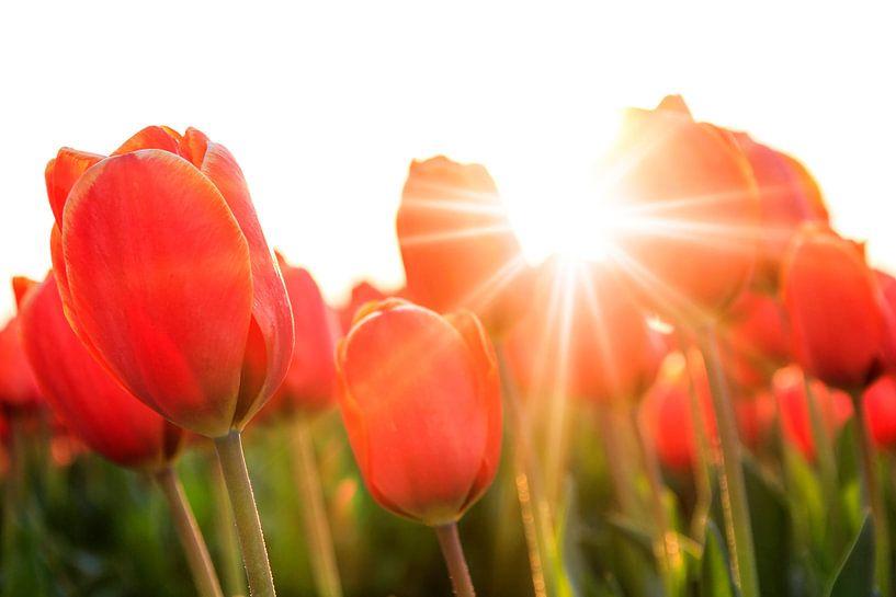 Zonnige rode tulpen close up van Dennis van de Water
