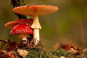 paddenstoel rood met witte stippen van