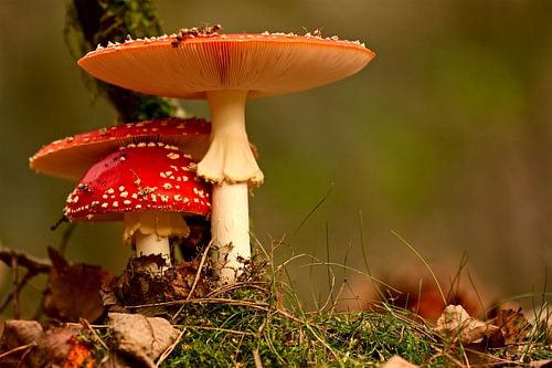 paddenstoel rood met witte stippen von