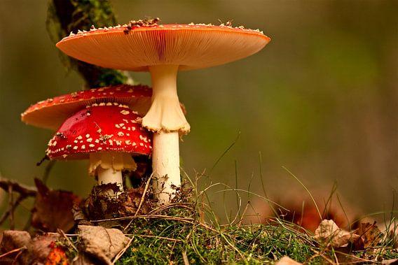 paddenstoel rood met witte stippen van jan van Welt