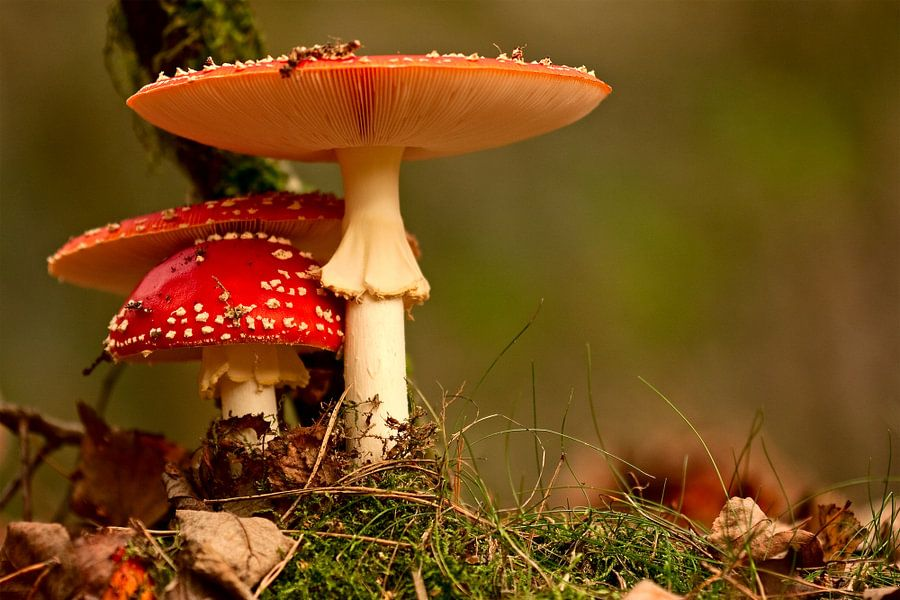 paddenstoel rood met witte stippen