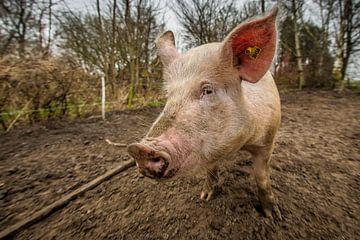 EKO-scharrelvarken #3 sur Michiel Leegerstee