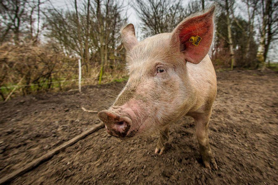 EKO-scharrelvarken #3 van Michiel Leegerstee