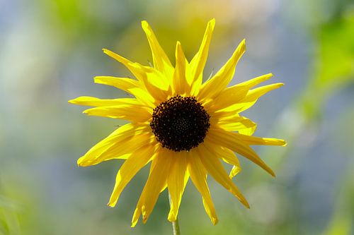 Le tournesol jaune