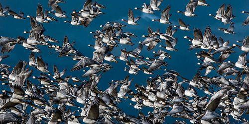 Een vlucht ganzen