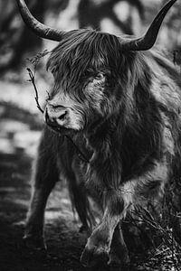 Portret van een Schotse hooglander.