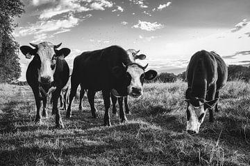 Neugierige Blaarkop-Kühe von Fotojeanique .