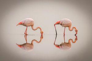 Flamingo's ( Phoenicopterus ruber roseus) staand in het water met reflectie, Walvis Bay, Namibië. van