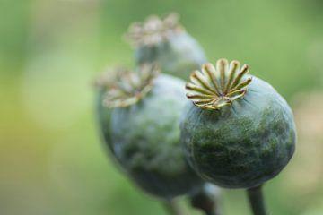 Boules de graines de pavot sur