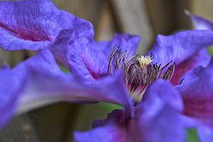 Zijaanzicht van de paarse Clematis van