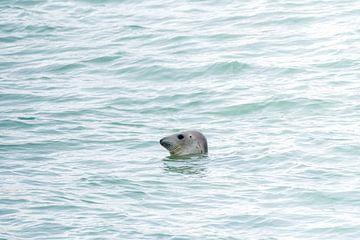 Zeehond bij de spuisluis Brouwersdam van Merijn Loch