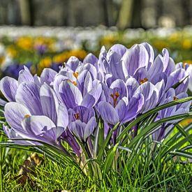 Crocuses violettes et jaunes sur Frans Blok