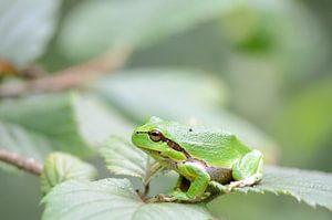 Groene boomkikker op een blad van een bramenstruik