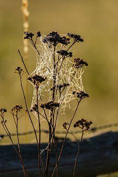 Spinnennetz in der Morgensonne von Joke Beers-Blom