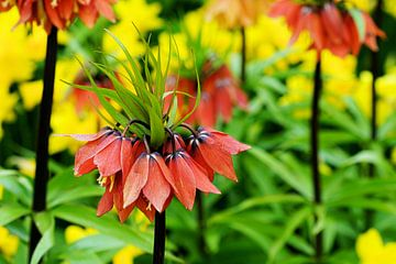 Fritillaria Vivaldi sur Albert van Dijk