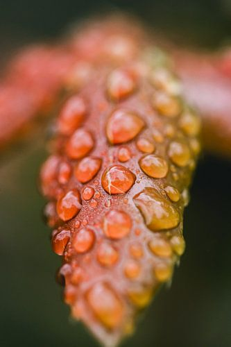 Rode herfst bladeren met regen druppels, macro fotografie