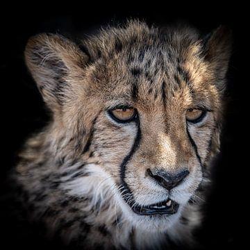 Porträt eines Gepardenjungen in Namibia von Jille Zuidema