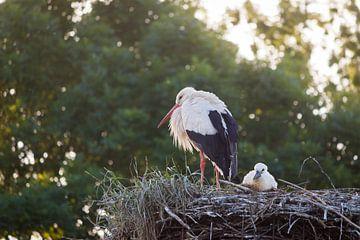 Familie ooievaar von ton vogels