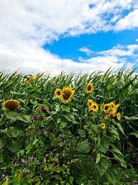 Sonnenblumen am Rande eines Maisfeldes bei dramatischem Himmel von MPfoto71