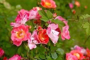Rose von Thomas Jäger