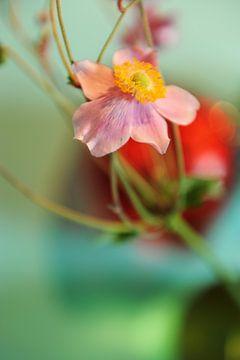 Japanse anemoon - een enkele bloem von