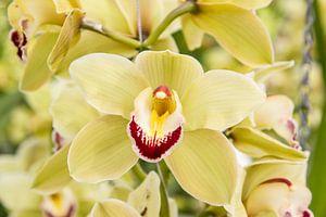 Orchidee van Guido van Veen