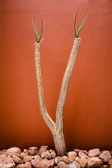 Woestijnplant voor een muur in terracotta kleur