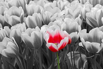 rode tulp van laura van klooster