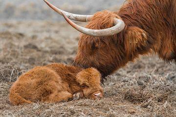 New Born Schotse Hooglander