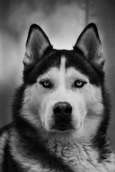 Husky Igor 4 zwart wit van Samanta van Wezel
