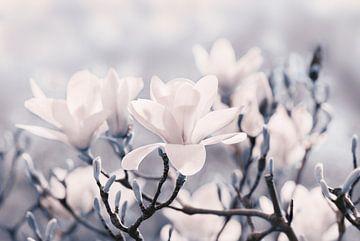 Magnolienblüten  von Violetta Honkisz