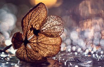 macro: gedroogde hortensiabloem in waterdruppels von Natascha IPenD