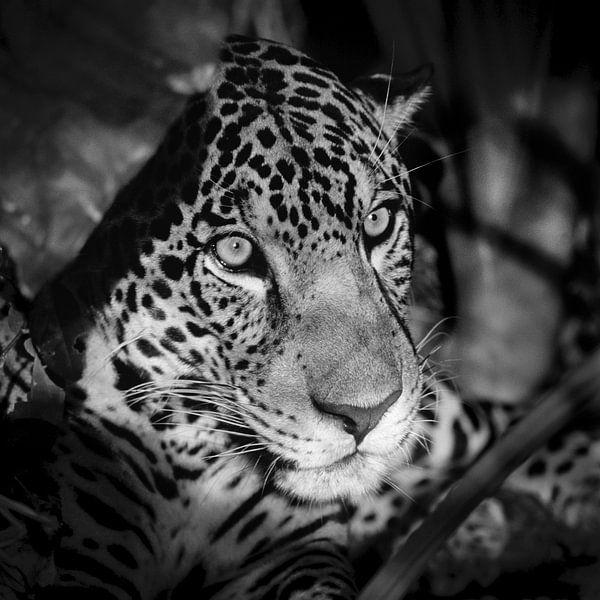 Porträt von Jaguar von Frans Lemmens