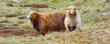 Langhaar Schafe von Kirsten Warner