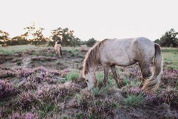 Wilde paarden In natuurgebied de Kampina